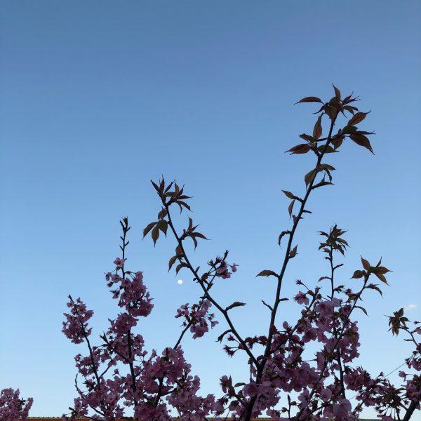 – 夕刻の雅桜 –